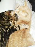 Kitty cats cuddling. A ginger domestic cat snuggled up with his tabby large kitten.  Very cute and loving Stock Photography