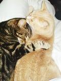 Kitty cats cuddling Stock Photography