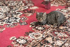 Kitty caught a little gray mouse, on the carpet stock image