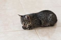 Kitty caught a little gray mouse, on the floor stock photo