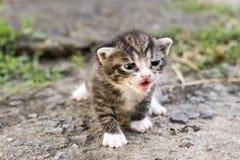 Kitty che imita immagini stock