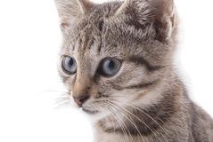 Kitty close up. Cat on a white background Stock Photography