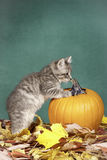 Kitty is curious about pumpkin. Royalty Free Stock Photo