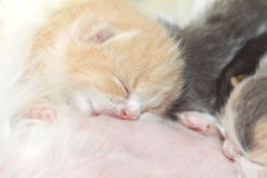 Kitty eating mother breast milk Royalty Free Stock Photo