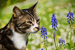 Kitty Enjoying The Muscari Fotografie Stock