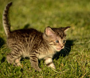 Kitty exploring Royalty Free Stock Photo
