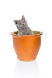 Kitty in a flower pot 2. Grey cat in a flower pot isolated on a white background Royalty Free Stock Image