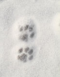 Kitty footprint in the snow Stock Images