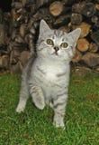 Kitty in the garden. Gray kitten outside in the garden Stock Photos
