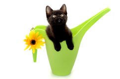 Kitty Gardener. Little black kitting popping out of a green watering can isolated over a white background Stock Photography