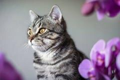 kitty Gatto grigio a strisce Cat Head Ritratto fronte del fanone fotografia stock libera da diritti