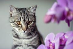 kitty Gatto grigio a strisce Cat Head Ritratto fronte del fanone fotografie stock libere da diritti