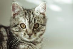 kitty Gatto grigio a strisce Cat Head Ritratto fronte del fanone immagini stock libere da diritti