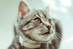 kitty Gatto grigio a strisce Cat Head Ritratto fronte del fanone fotografia stock