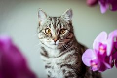 kitty Gestreepte grijze kat Cat Head Portret baleen gezicht royalty-vrije stock fotografie