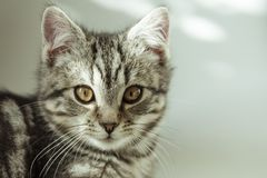 kitty Gestreifte graue Katze Cat Head Porträt Baleengesicht lizenzfreie stockbilder