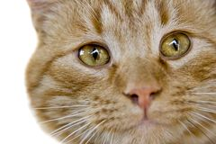 Kitty  glaring eyes Stock Photography