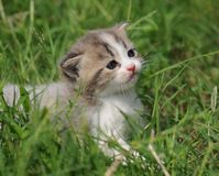 Kitty in grass. Little baby cat aroud 2 months runs in grass in nature Stock Photography