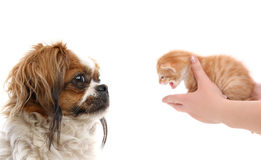 Kitty at hand and the dog. Pikengese and  kitten at hand Royalty Free Stock Photo
