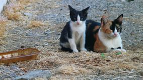 Kitty and her mom calico cat looking at camera stock video footage