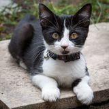 Kitty with jingle bell on a collar. And pointy ears up looking at camera lying in a garden on a concrete slab Stock Image