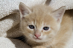 Kitty. Kitten playing with a blanket Royalty Free Stock Images