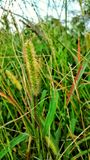 Kitty kitty grass. Macro close up wild oats plants weeds garden seeding dried green macro close up Stock Photography