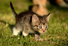 Kitty learning to hunt Stock Photography