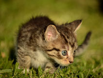 Kitty learning to hunt Royalty Free Stock Photos