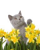 Kitty looking up. Grey cat with yellow flowers, isolated on a white background Royalty Free Stock Photos