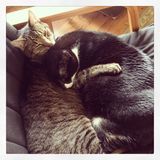 Kitty love. Two cats snuggled together Royalty Free Stock Image