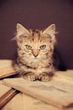 Kitty mignon Photos libres de droits