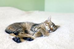 Kitty Nap Royalty Free Stock Image