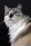 Kitty observé bleu Image libre de droits
