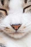 Kitty pink nose with eyes shut Stock Photography