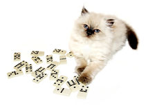 Kitty playing dominoes Royalty Free Stock Photo