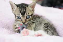 Kitty playing with mouse toy Stock Images