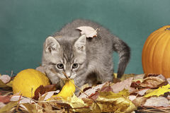 Kitty plays in leaves. Royalty Free Stock Photography