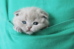 Kitty in pocket Royalty Free Stock Photo