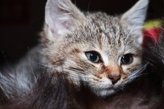 Kitty Portrait Closeup Royalty Free Stock Images