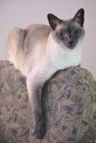 Kitty Relaxes sopra appoggia della sedia dell'ufficio Immagini Stock