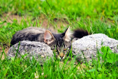 Kitty and Rocks. Grey kitten lying between rocks Stock Image