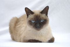 kitty siamese Fotografia Royalty Free