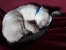 Siamese Dreamworld royalty free stock photography
