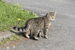 Kitty, siberian cat on the road Royalty Free Stock Image