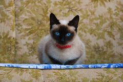 Kitty Sima stock afbeelding