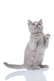 Kitty sitting. Grey cat isolated on a white background Stock Image