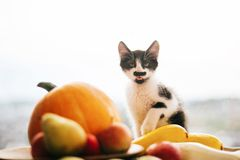 Kitty sitting on pumpkin and playing in light and zucchini, appl. Es and pears on wood. Happy Thanksgiving and Halloween. Harvest and hello autumn concept. Space stock images