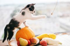 Kitty sitting on pumpkin and playing in light and zucchini, appl. Es and pears on wood. Happy Thanksgiving and Halloween. Harvest and hello autumn concept. Space royalty free stock images