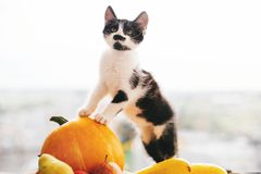 Kitty sitting on pumpkin and playing in light and zucchini, appl. Es and pears on wood. Happy Thanksgiving and Halloween. Harvest and hello autumn concept. Space royalty free stock photo